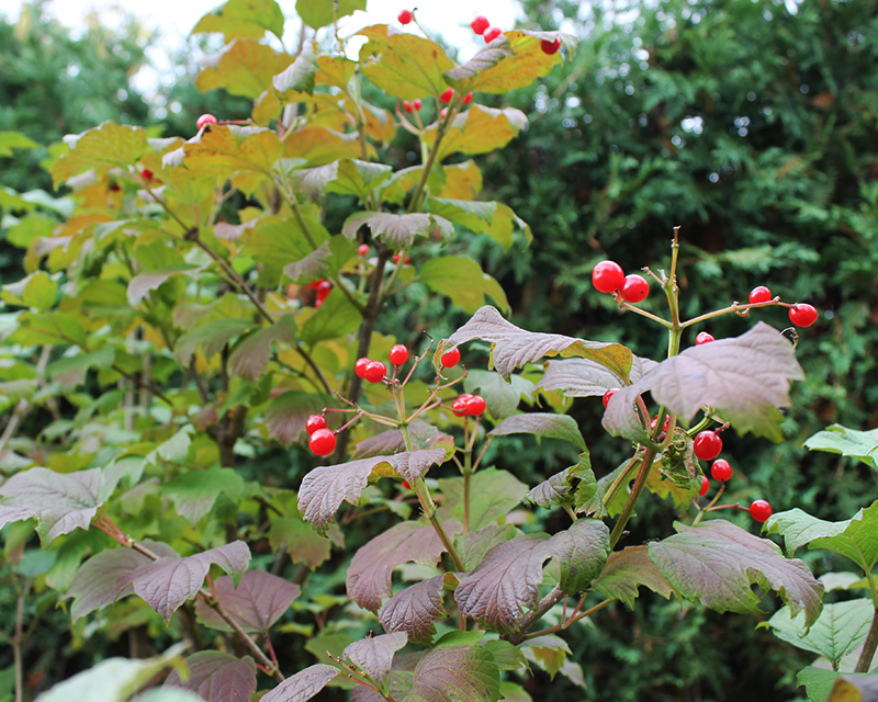 Viburnum trilobum leaves and berries