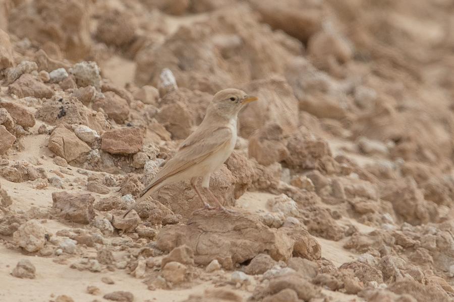 Desert_Lark