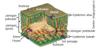Struktur dan Fungsi Organ Epidermis, Mesofil dan Jaringan Pembuluh pada Daun Tumbuhan