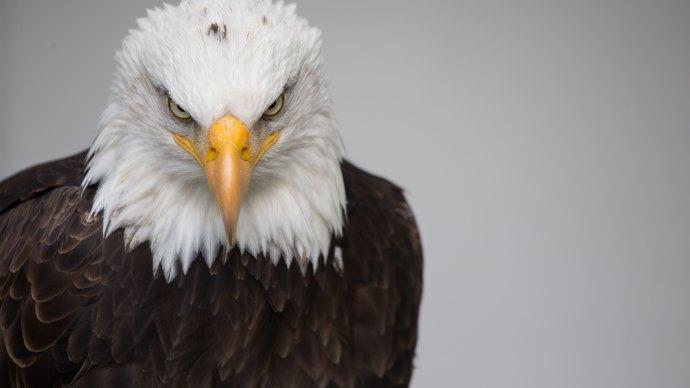Wallpaper 3: Bald Eagle Portrait