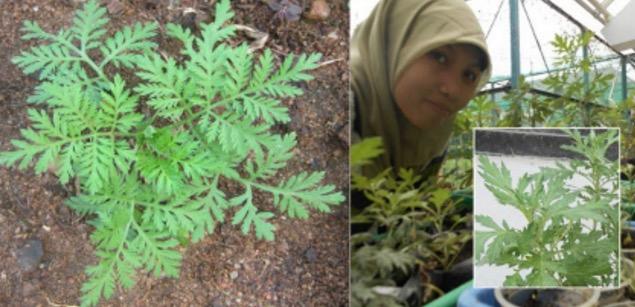 Artemisia annuaatausintrong Dapat Menghancurkan Sel Kanser