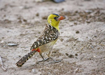 Yellow breasted Barbet
