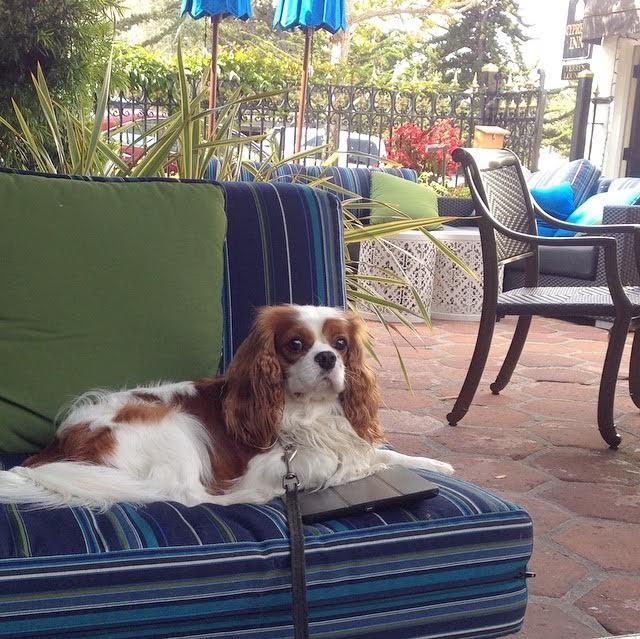 Blenheim Cavalier King Charles Spaniel on patio in Carmel, California