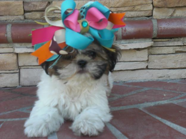 shih tzu funny funny shih tzu cute puppies wallpaper and pictures 3941