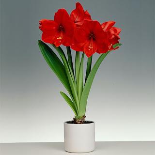 Tanaman Bunga Amarilis