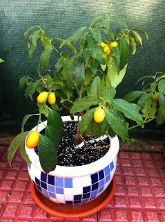 La mar de verde el naranjo enano arboles frutales en maceta for Arboles frutales en maceta