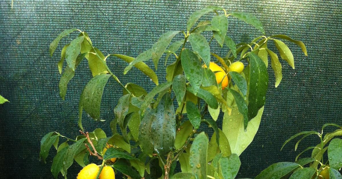 La mar de verde el naranjo enano arboles frutales en maceta for Arboles frutales de hoja perenne