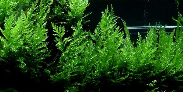 African Water Fern / Bolbitis - Cara Membuat Aquascape