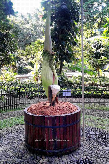 Bunga Bangkai koleksi Kebun Raya Bogor yang akan segera mekar. Kredit foto : Meilla.