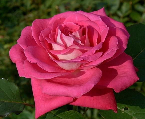Acapella сорт розы Тантау фото