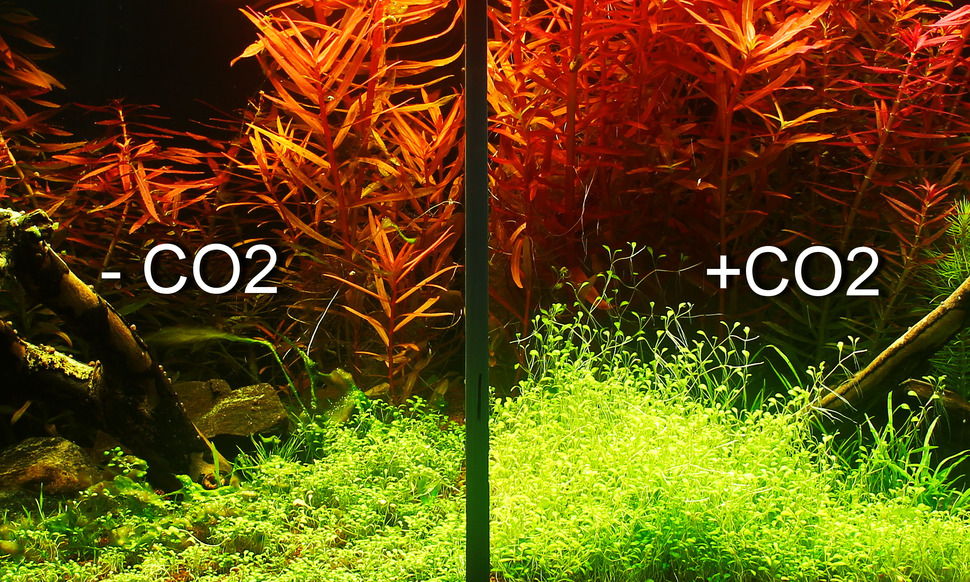 Ảnh: so sánh một hồ thủy sinh có và không có CO2