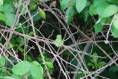 Hyla meridionalis en un zarzal