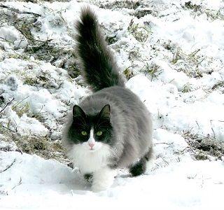 Gato en la nieve.