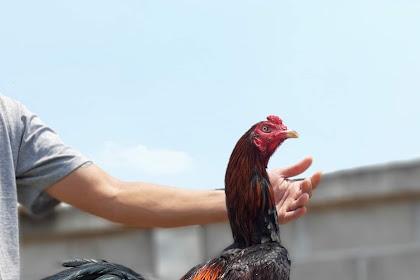 5 Hewan Air Bagus Untuk Tenaga Ayam Bangkok