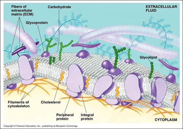 Gambar struktur membran sel dan keterangannya