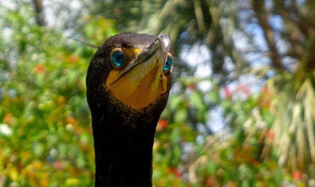 Cormorant eyes