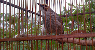Burung Cucak Rowo - Memilih Bakalan Burung Cucak Rowo Dari Hutan - Penangkaran Burung Cucak Rowo