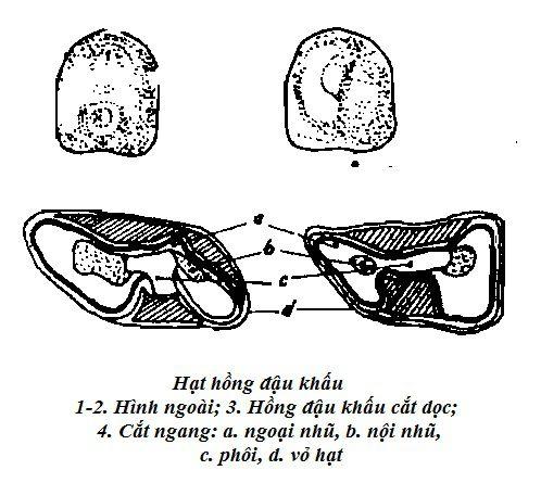 Hình vẽ hạt Hồng đậu khấu - Alpinia galanga - Nguyên liệu làm thuốc Chữa Bệnh Tiêu Hóa