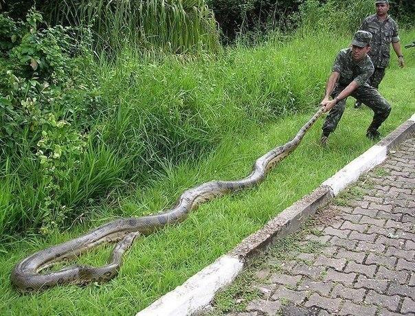 военный тянет за хвост анаконду