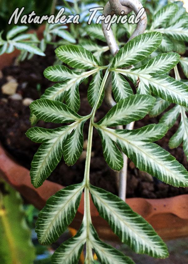 Fotografía del Helecho Blanco,Pteris ensiformis cv. victoriae