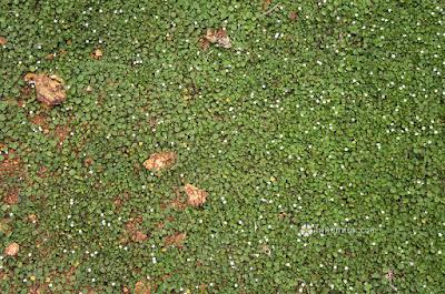 ใบต่างเหรียญ พืชคลุมดิน ปลูกแทนหญ้า ไม่ต้องตัดแต่ง