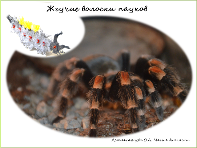 magija-biologii-palchikovyj-teatr--antichnaja-volnjanka-volosataja-gusenica-pauk-pticeed-zhguchie-voloski