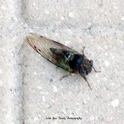 Cicada of Leesburg, Florida