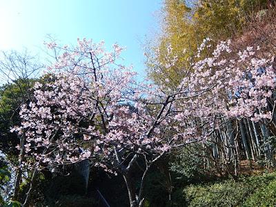 長谷寺の河津桜