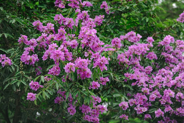 Purple Lagerstroemia flowers bloom to welcome summer season in Hanoi 2