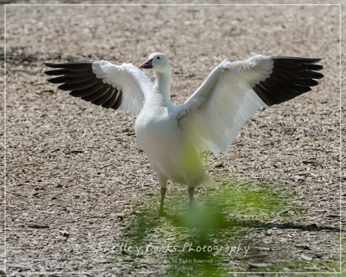 Snow Goose, Wascana Lake. Copyright © Shelley Banks, all rights reserved.