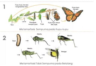 Pengertian Metamorfosis