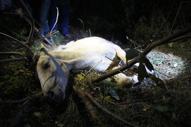 Минутка хороших новостей: спасатели достали из ямы беременную лошадку
