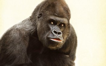 Wallpaper: Beautiful Gorilla Portrait