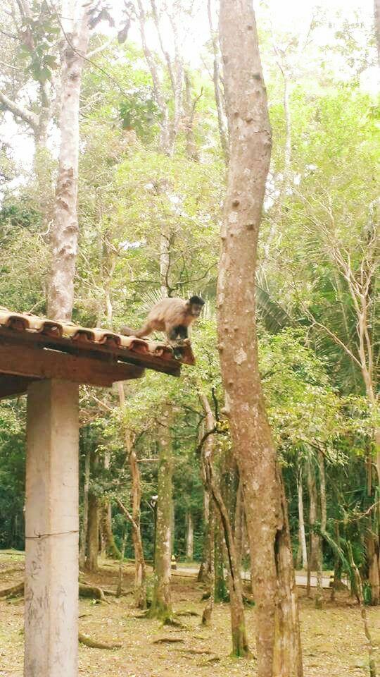 Macaco-prego em um dos quiosques do PEJ. Foto: acervo Natasha Ceretti