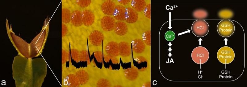 How Venus Flytrap Triggers Digestion