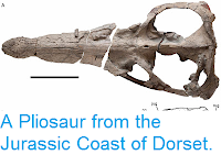 http://sciencythoughts.blogspot.co.uk/2013/08/a-pliosaur-from-jurassic-coast-of-dorset.html