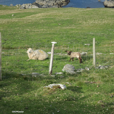 sheep, Orkney