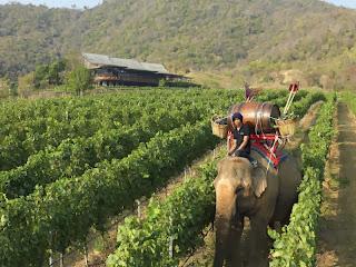 Arbeitselefanten am Weinberg bei Hua Hin