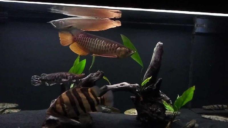 Gambar Datnoid dan Aligator Teman Ikan Arwana Di Akuarium