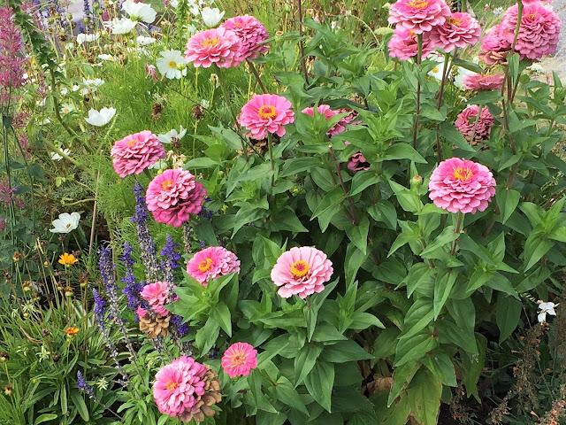 pink blühende Sommerblumen