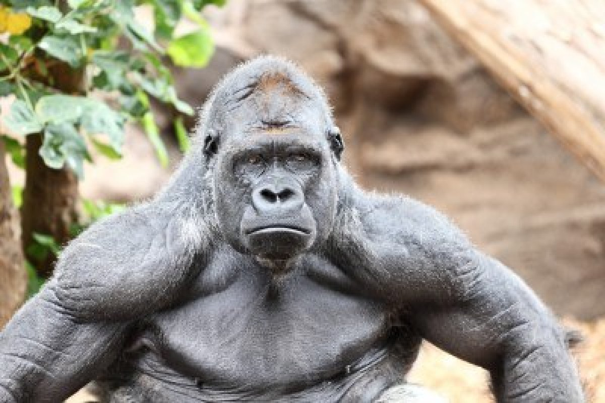 Just Not Said: Gorilla muscle