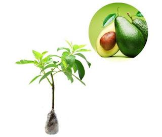 Avocado Seedling Selection Of Quality