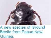 http://sciencythoughts.blogspot.co.uk/2014/04/a-new-species-of-ground-beetle-from.html