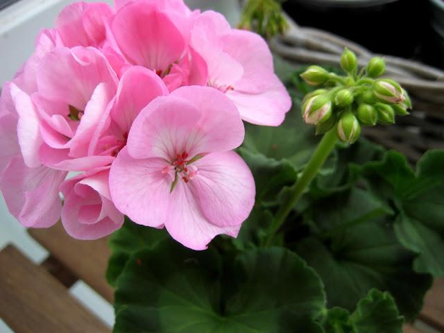pelargonia, kukka