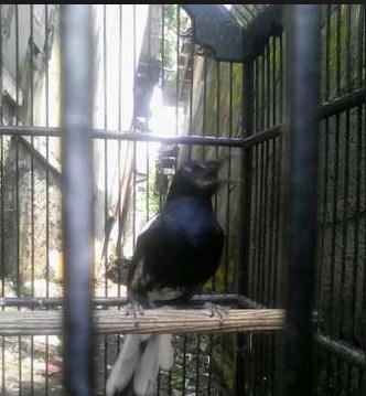 Mengetahiu Jenis Burung Kacer Tretes Paling Lengkap Kicau Mania