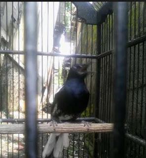 Mengetahiu Jenis Burung Kacer Tretes Paling Lengkap