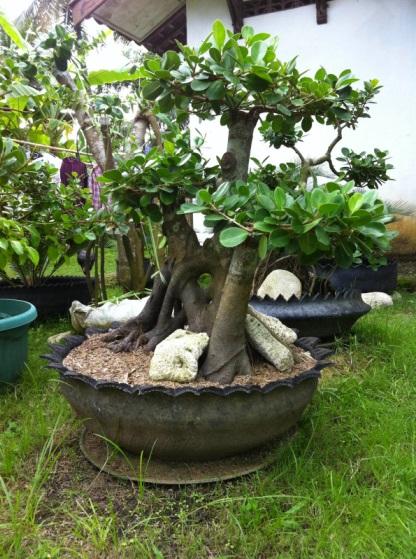Bonsai Beringin Batang Besar
