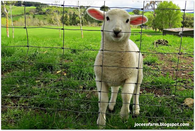 Spring babies @ Jocees Farm