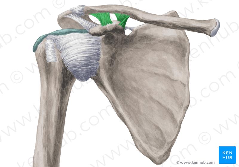 coracoclavicular ligament - Coracoclavicular ligament Wikipedia