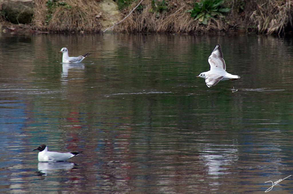 Dos gaviotas reidoras, en las aguas del río Segre